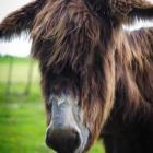 Van Gogh poitou Guapa Fotografie reuzenezel ezels knuffelen